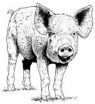 mayas pig